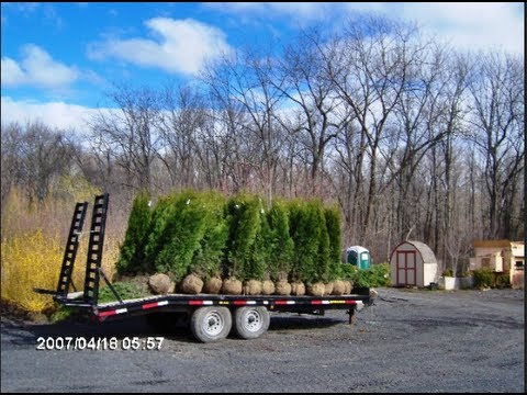 Video of our 67 Ft Emerald Green Arborvitae  YouTube