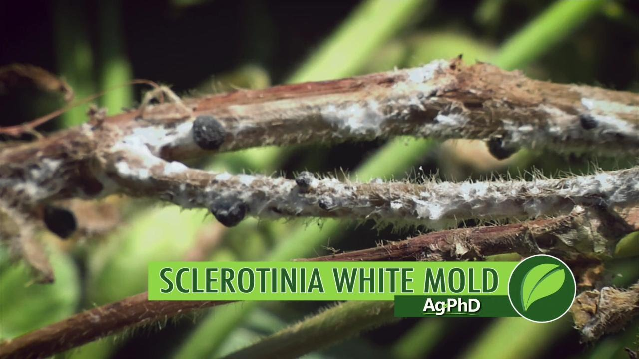 helminthosporium turcicum kémiai védekezés féreglyukakkal rendelkező tabletta az ember számára