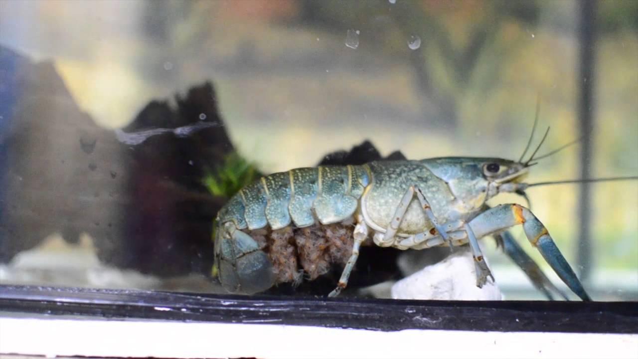 Ternak Lobster Air Tawar Udang Kara Youtube