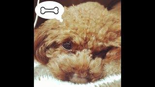我が家の愛犬「こはな」です(*^▽^*) 骨のおもちゃを渡したら予想以上に...