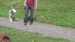 Дрессировка далматина. Обучение выдержке.  http://dogclass.ru/