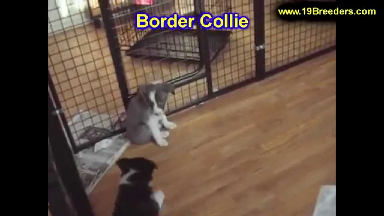 Border Collie, Puppies, For, Sale, In, Washington DC, Georgetown,  Alexandria, District of Columbia