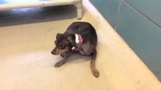 Meet  A Miniature Pinscher Currently Available For Adoption At Petango.com! 9/3/2015 11:15:50 Am