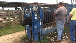 Tagging cow