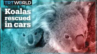 Volunteers in Australia use their cars to rescue koalas