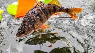 Ураааа Лед стал Открытие зимней рыбалки Ловля щуки на жерлицы Зимняя рыбалка 2021