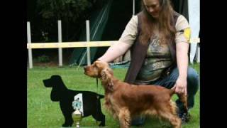 "Abbadon's Brânwen ""brandy""  - English Cocker Spaniel -"