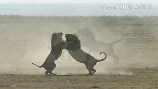 Epic 2 Male lions fighting to death (Aug 2017) MP3