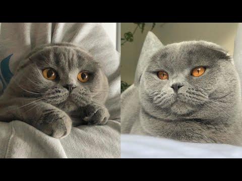 😍🐱 Gray Scottish Fold Kitten 🐾💖