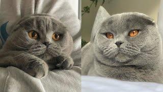 Gray Scottish Fold Kitten