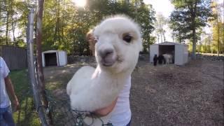 Alpacas at Kave Rock Farm
