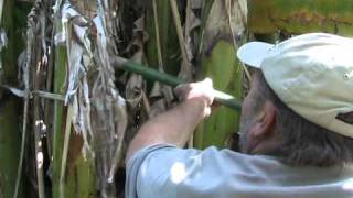 Picking Bananas in Temperate Climates