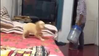 Cute Little Female Golden Retriever Puppy Barking And Playing
