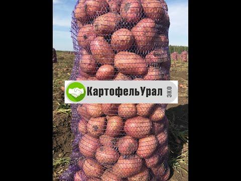 Картофель 2020 дозрел. Заготовка и хранение. Сорта Артемис, Ред Скарлет, Эволюшн.