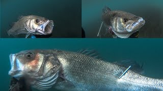 Spearfishing The GREAT SEA BASS and the PRIMITIVE Spearo - New Moon MADNESS - Teaser ✅