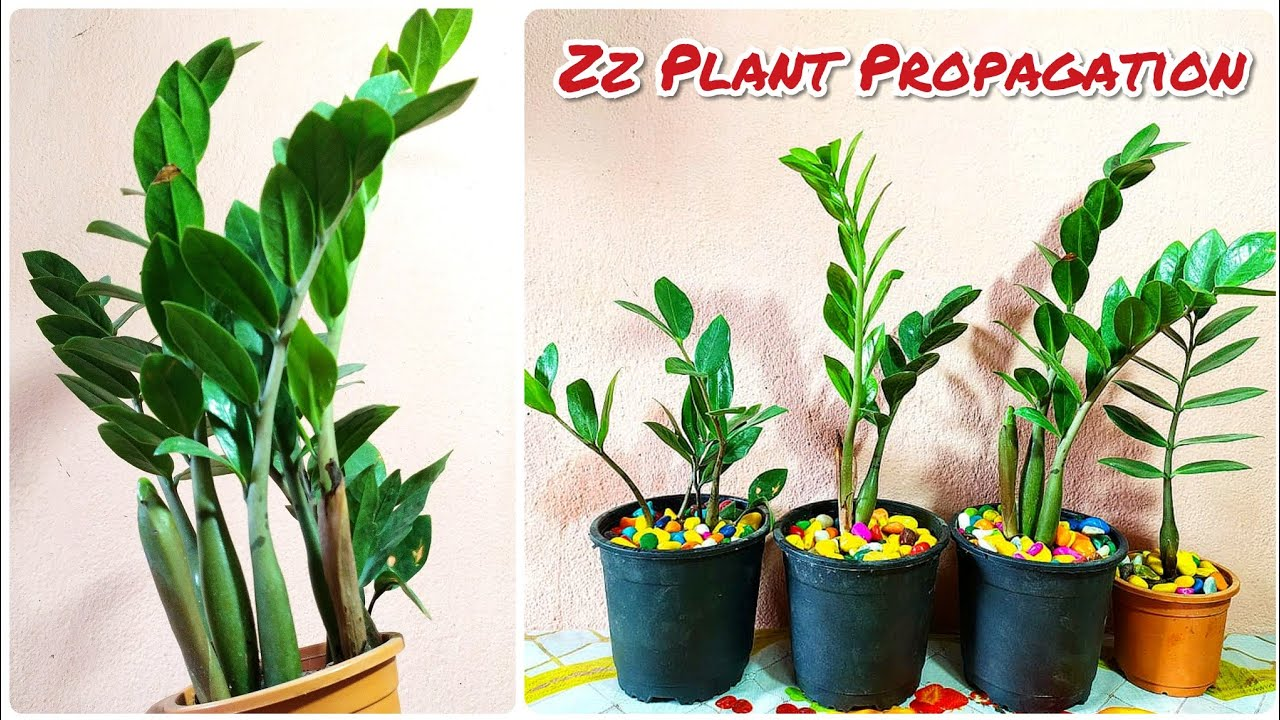 How To Propagate Zz Plant    Zz Plant Propagation ...