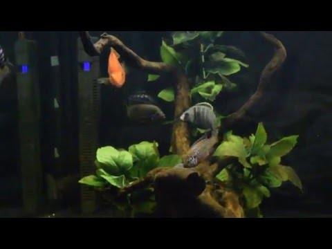 Male Jewel Cichlid vs Deep Water Hap