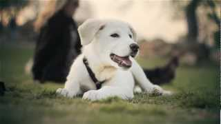 Great Pyrenees-lab Mix Relaxes At The Park | The Daily Puppy