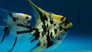 vuclip Dolphino berkunjung ke Budidaya Ikan Manfish