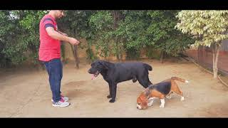 KNOW ABOUT LABRADOR RETRIEVERS || DEEPSEA KENNEL || BEST DOG FARM || SCOOBERS