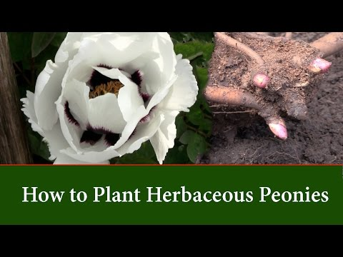 How to Plant Herbaceous Peonies