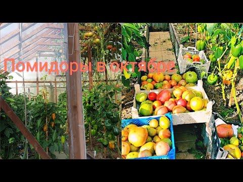 Томаты и перец в октябре Самые стойкие сорта Собираем урожай  Сеем сидераты