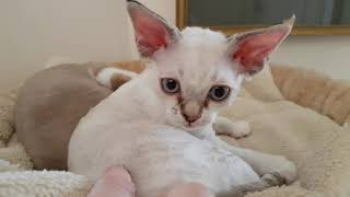 2mins of Devon Rex bliss