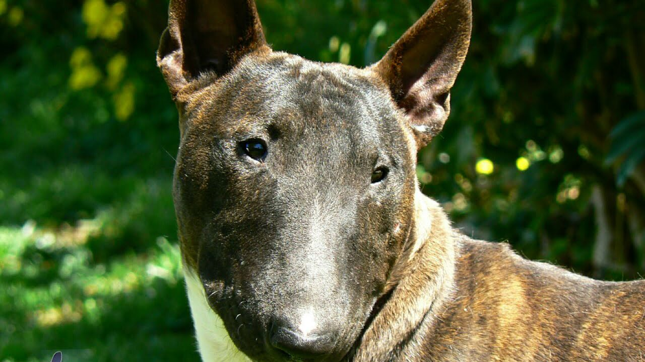 miniature bull terrier dog breed youtube