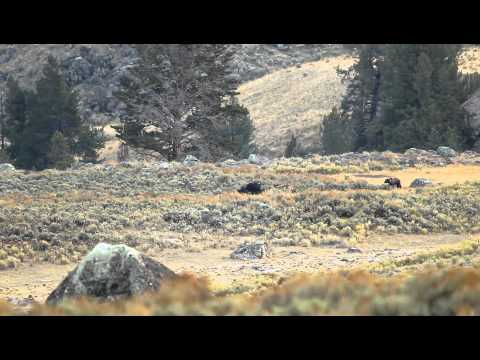 2 Grizzlies vs 7 wolves @ Yellowstone 10-06-2010