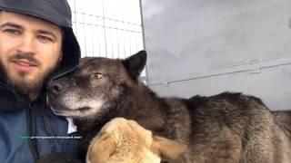 Пол часа из жизни Волка в неволе, западно-сибирская лайка и самый крупный в мире волк
