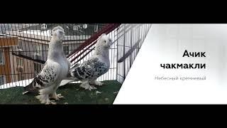 видео Зарубежные породы голубей