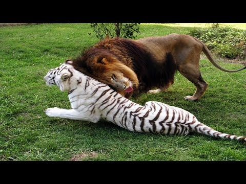 White Tigress And Lion Fall In Love, Escape Zoo Together....