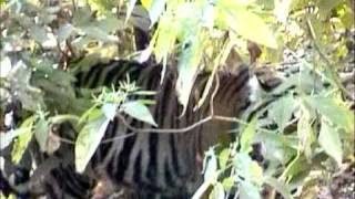 Tigers hunting & eating his Kill in Kanha Park Video  by Shirishkumar Patil 1