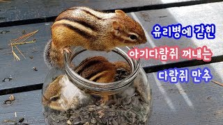 [ENG] 유리병에 갇힌 아기다람쥐 꺼내는 다람쥐 만추: The Chipmunk helping the baby chipmunk Bami out of the glass jar.