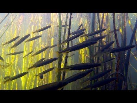 Native Fish: Common Galaxias And Pygmy Perch; Darlot Creek