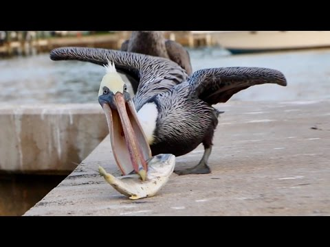 Feeding A Pelican... IS FREAKING AWESOME!!!!
