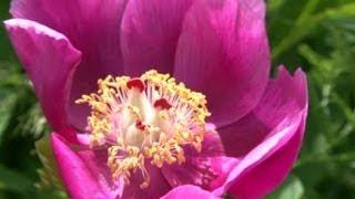 Çiçek Yetiştiriciliği - Şakayık Çiçeği (Kan Çiçeği, Yozgat Lalesi) 4. Bölüm