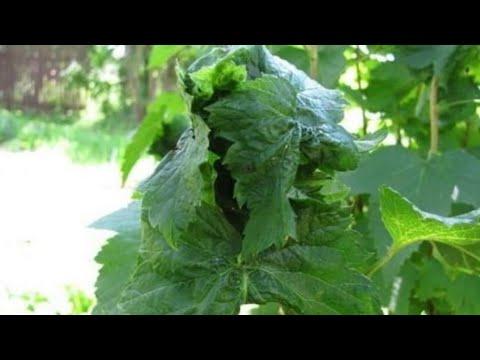 Начало вегетации, тля, муравьи и что с ними делать