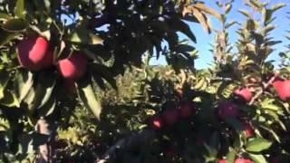 APPLE PICKING IN LEWIN FARMS CALVERTON NEW YORK