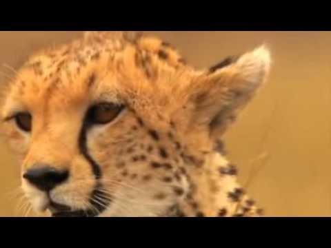 Animal Documentary National Geographic   Cheetah, SPEED TO KILL MbTube Com flv