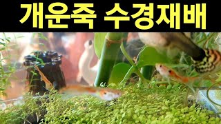 개운죽 구피 어항에 수경재배 키우기