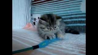 Купить котенка экзота в питомнике. Наш сайт: colorolla.ru