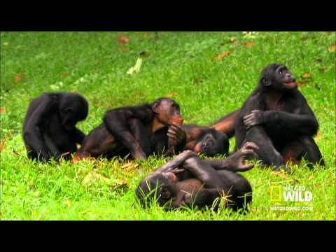 Wild Wives of Africa Gorillas GIAO PHỐI TRONG TỰ NHIÊN