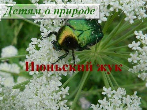 Интересное о насекомых ❦ Июньский жук ❦ Игры для детей