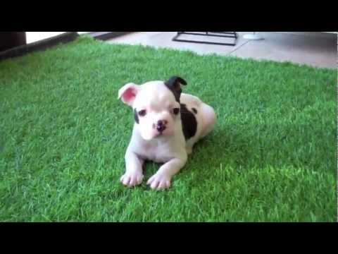 Frenchton Puppies For Sale!  (Frenchie / Boston Cross) San Diego California