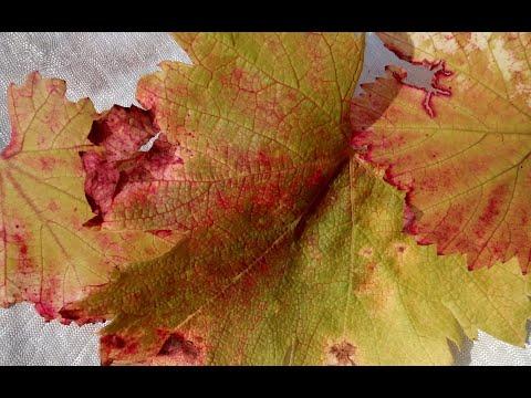 Покраснение /пожелтение/ листьев на винограде. Основная причина. Виноград центр/The grapes center