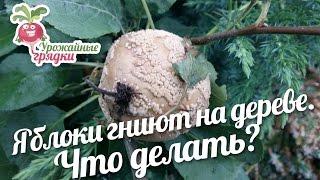 Смотреть видео чтобы яблоки на деревьях не гнили