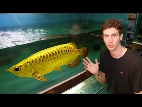 $24,000 GOLD AROWANA!! - Inside World's *LARGEST* Rare Arowana Fish Breeder...