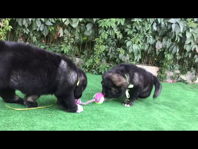 Female Caucasian Shepherd #5 for sale (litter #2) video3