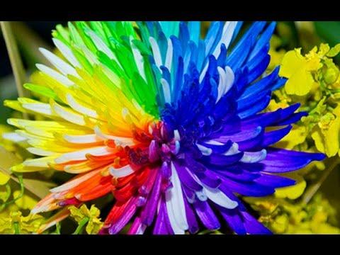 Что выросло из семян Радужной Хризантемы. Китайские аферисты